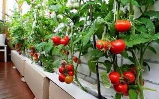 Лучшие сорта томатов для выращивания на подоконнике или балконе