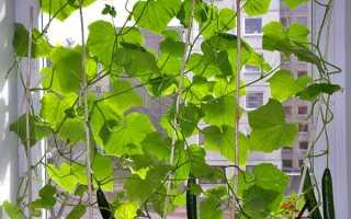 Сорта огурцов для выращивания на подоконнике зимой